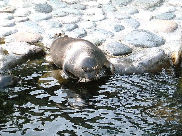 Baikal zeehond